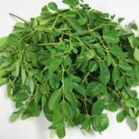 Moringa-oleifera-1